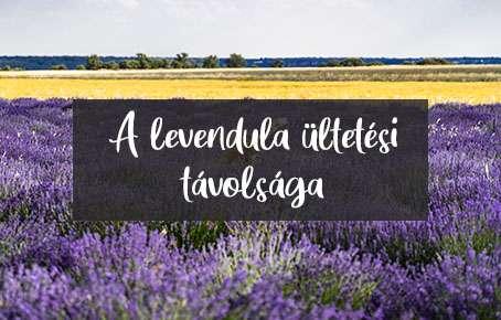 a levendula ültetési távolsága