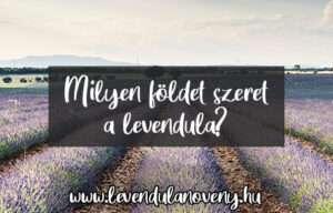 a levendula milyen földet szeret