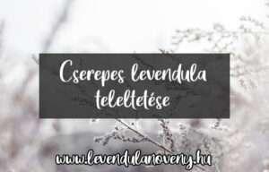 cserepes levendula teleltetése