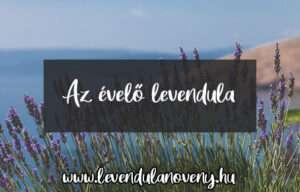 levendula évelő