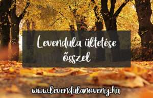 levendula ültetése ősszel