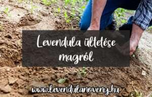 levendula ültetése magról