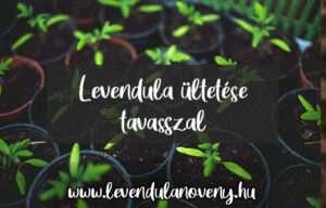 levendula ültetése tavasszal