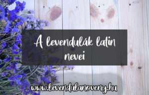 levendula latin neve