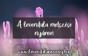 levendula metszése nyáron