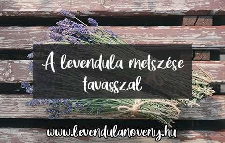 levendula metszése tavasszal