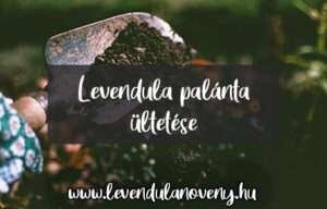 levendula palánta ültetése