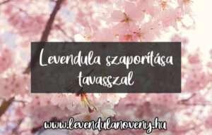 levendula szaporítása tavasszal