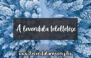 levendula teleltetése