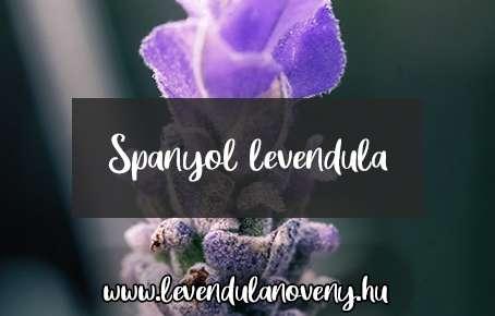 Spanyol levendula