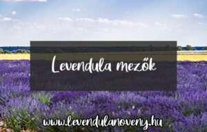 levendula mező